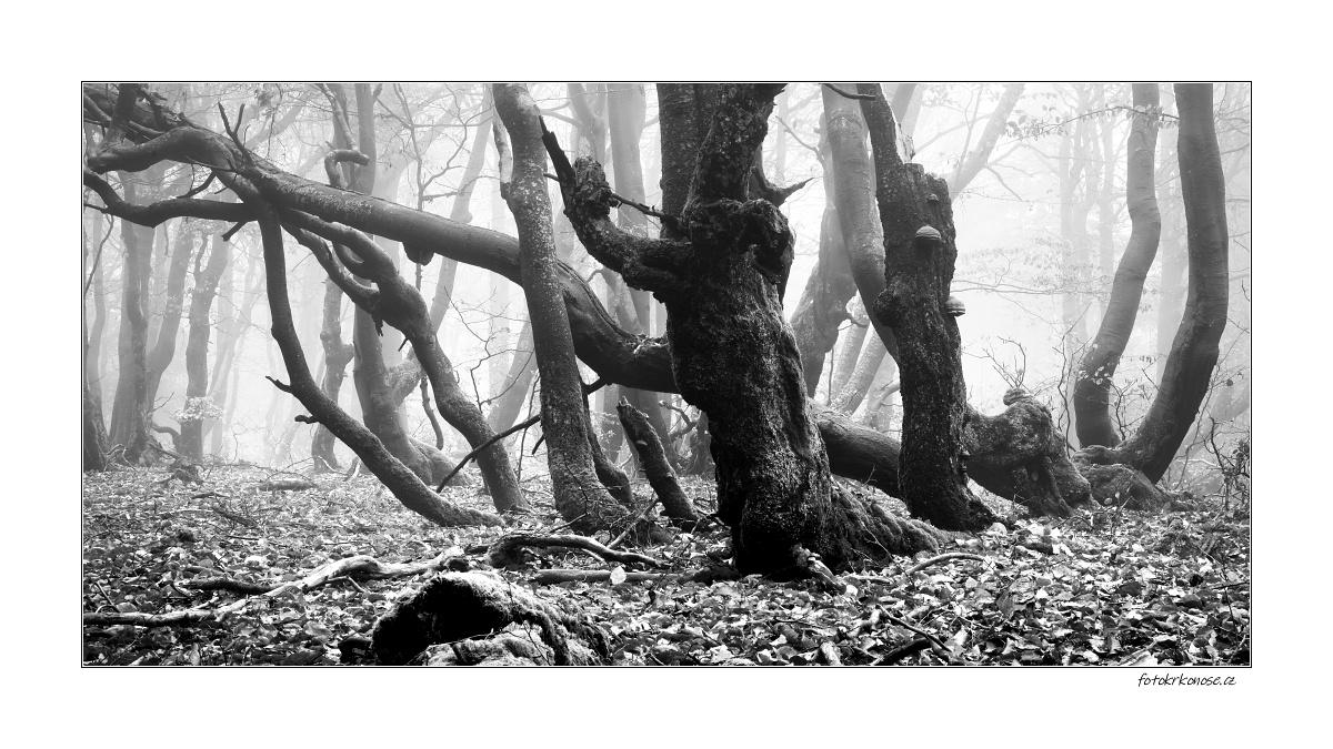 Z Krkonošského pralesa